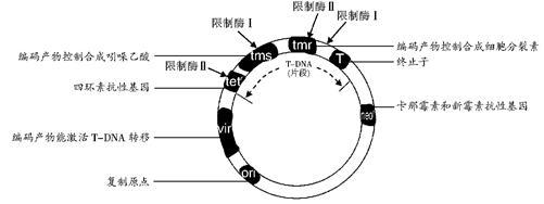 下图是天然土壤农杆菌ti质粒结构示意图(示部分基因及部分限制性