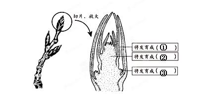 植物叶芽细胞结构图