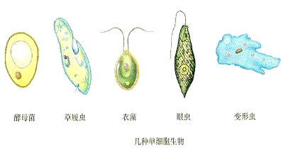 下列生物都是单细胞生物的一组是a.跳蚤,蚊子b.草履虫