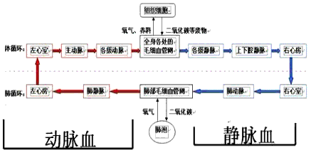 初中生物试题 人体血液循环系统的组成 在循环系统中,下列结构含有