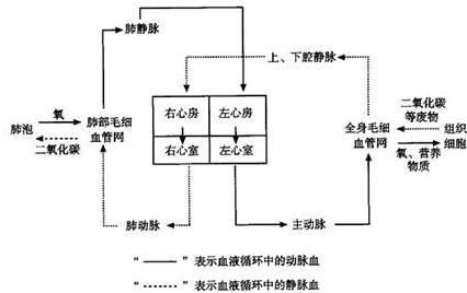 血液循环中的路线如图:肺循环:右心室--肺动脉--肺中的毛细管网--肺图片