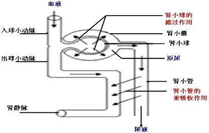 分析:图示为肾单位的结构以及尿的形成过程模式图,其中,①是入球小