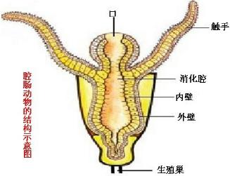 腔肠动物的主要特征是
