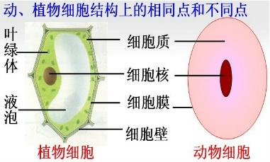 解答:解:动物细胞和植物细胞的基本结构及其异同点