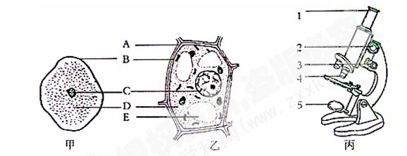 【题文】图中,甲,乙是不同生物细胞的结构示意图,丙是显微镜的结构