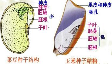 凡是种子的胚具有一片子叶的植物叫做单子叶植物