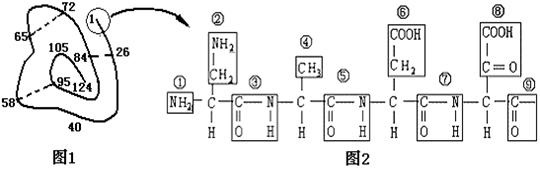 根据某蛋白质的肽链结构示意图(图1中数字为氨基酸序号)及部分肽链