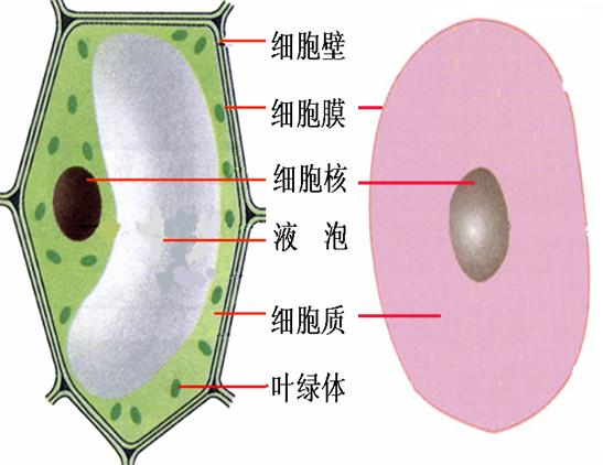 名称动物细胞植物细胞.