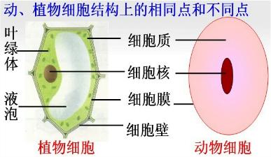 细胞结构上的异同点如图所示:即动物细胞不具有细胞壁,叶绿体和液泡.