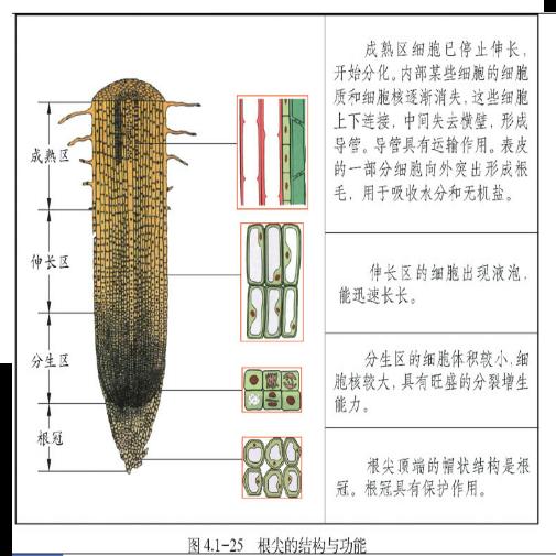 如图所示根尖的结构从上到下依次是:成熟区,伸长区,分生区,根冠.