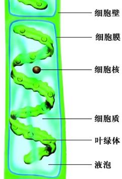 因此,人体口腔上皮细胞结构和水绵细胞相比,没有细胞壁,液泡等.