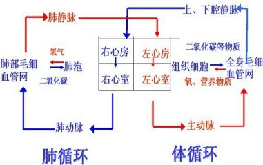 血液循环分为体循环和肺循环两部分,先进行肺循环再进行体循环.图片