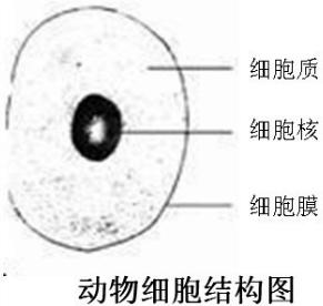 动物细胞的基本结构包括细胞膜,细胞质,细胞核等结构. 故答案为