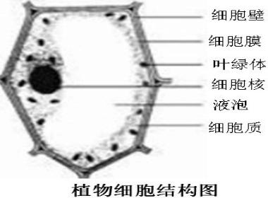 画一个植物细胞结构示意图.