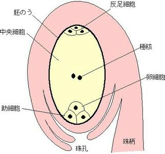 初中生物试题 果实和种子的形成 在油菜花中,胚珠的外层是___.