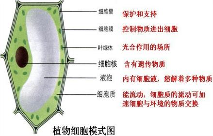 如图是一个植物细胞的模式图,遗传信息主要存在于模式