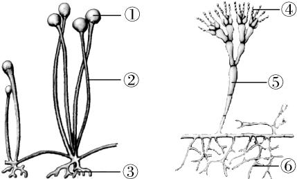真菌的形态结构,营养方式和生殖方式的特点 下面的图是青霉和根霉,从