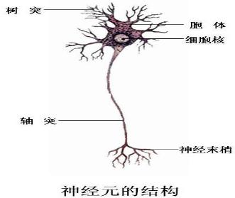 神经系统的基本结构和功能单位是( )