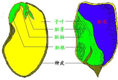 试题分析::菜豆种子的结构包括胚和种皮;玉米种子的结构包括种皮,胚