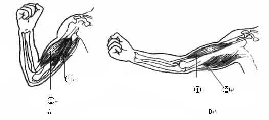 初中生物试题 动物的运动的意义 右图是人体屈肘时肌肉的协作示意.