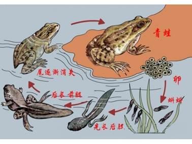 蝌蚪长大过程简笔画