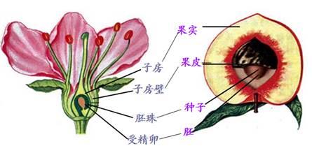 如图是桃花的结构图,请据图回答下列问题:(22分)