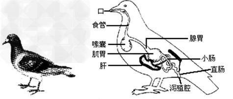 初中生物试题 动物行为的类型和特点 生物小组探究了家鸽的外部形态和