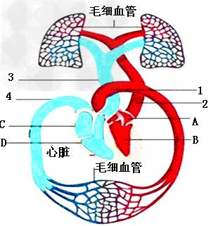 人体血分布�_下图为人体的血液循环系统示意图,请据图回答