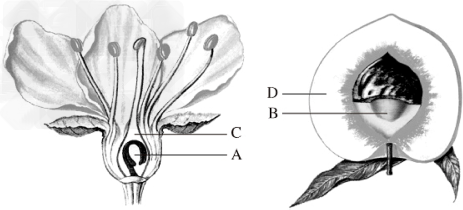 初中生物试题 果实和种子的形成 下图是桃花结构模式图.