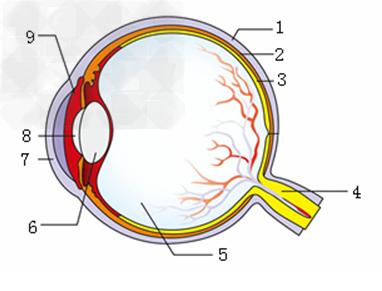 下图是眼球的结构示意图