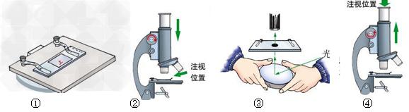 初中生物试题 显微镜的基本构造和使用方法 下图显示的是显微镜的几个