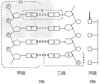 DNA分子的复制解析 高中生物 – 新东方在线网络课堂